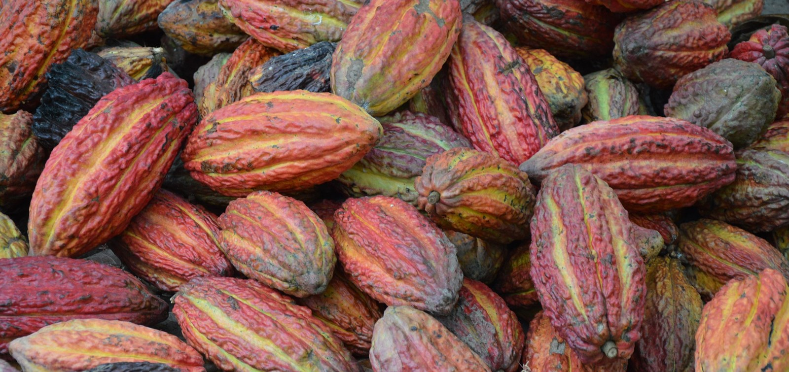 """If we don't solve soil fertility problems, we can no longer produce cocoa in 20 years"""